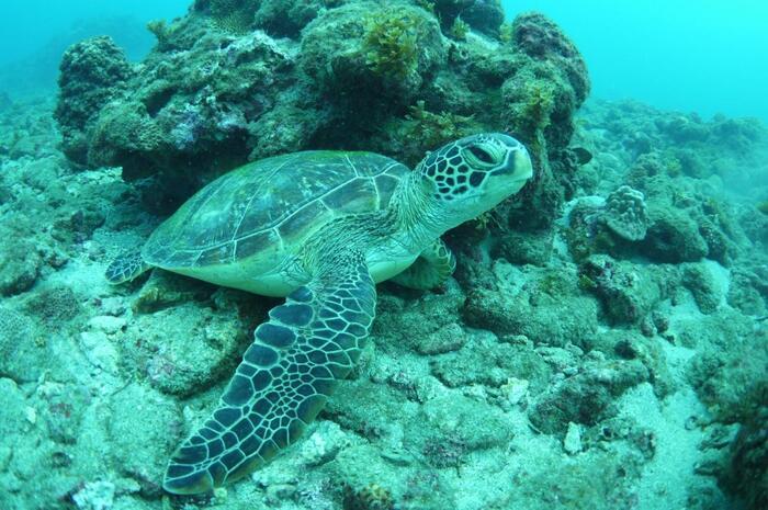 屋久島のダイビングでよく出会えるのがウミガメ。ダイビングのライセンスを持っていなくてもウミガメと一緒に泳げるプランもあるので、ダイビング未経験でもぜひチャレンジしてみてくださいね。