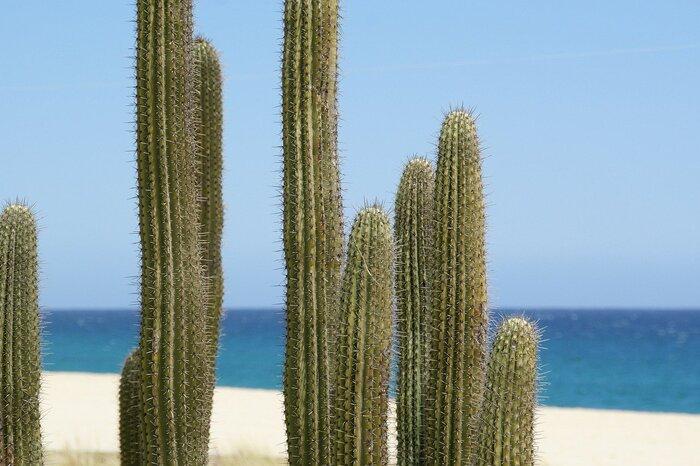 サボテンの代名詞『柱サボテン』。名前の通り、柱のように茎が伸びるサボテンの総称です。水分を含んだトゲのある茎をいくつか出して上へ伸びるのが特徴で、広大な砂漠に生える力強いイメージがあります。