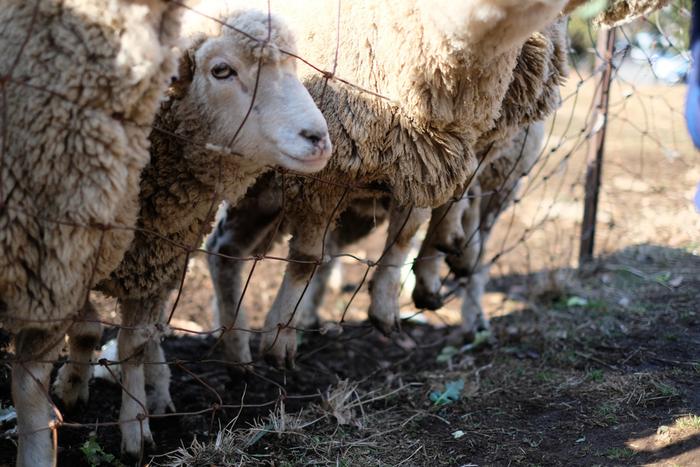 放牧されているのは、黒顔のサフォーク種と、色白顔のコリデール種。ここは、弘法山公園の駐車場が近く、ハイキングをしなくても羊たちに出会うことができます。【人懐っこく愛らしい羊たち。画像は、白顔のコリデール種。】