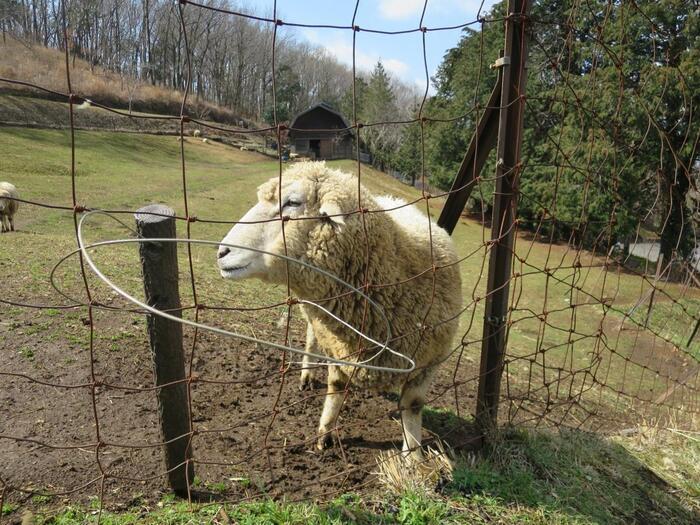 「めんようの里」は、権現山と弘法山の間。北西の斜面の中腹に広がる羊の放牧場です。広い牧場では、放たれた羊たちが、ゆったりと草を喰んでいます。【3月初旬の「めんようの里」】