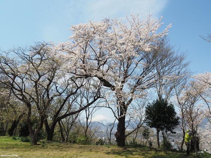 浅間山(せんげんやま)、権現山(ごんげんやま)、弘法山(こうぼうやま)の三山からなる「弘法山公園」は、『かながわの景勝50選』、『かながわの探鳥地50選』、『かながわの花の名所100選』、『関東の富士見百景』に選ばれている、県内を代表する景勝地。  神奈川県の自然の豊かさを味わうのにお勧めです。桜の名所としても知られ、紅葉も素晴らしく、枯木立の冬も味わい深いコースです。【遠くに富士山覗く、桜の頃のハイキングコース内「馬車道」からの眺め】