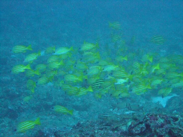 鮮やかな黄色に水色の帯が4本入ったヨスジフエダイに、黒と黄色のしましまのカゴカキダイ。群れて泳ぐ姿は幻想的です。