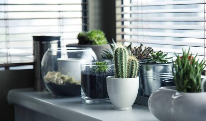 サボテンは、主に南北アメリカとその周辺を原産とするものが多く、湿度が低く乾燥した場所に生えています。梅雨などは湿度の高く、冬は気温が低く乾燥しない日本の気候では、サボテンが根腐れを起こしてしまうので、家庭においては鉢植えで育てることをおすすめします。