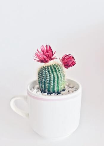 サボテンは花を咲かせる種類もあることから花言葉も付いています。様々な過酷な環境でも強い生命力で育つことから、「枯れない愛」、紀元前から子孫を増やしてきたとされていることから「偉大」、さらに、砂漠や原野の中で燃えるように色彩豊かな花を咲かせることに由来して「燃える心」という花言葉が付きました。とっても壮大でロマンティックですね。