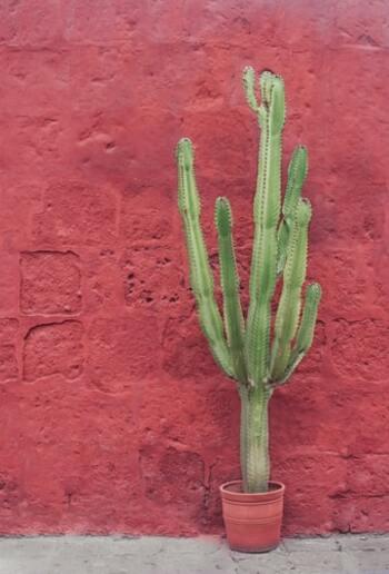 同じ植物とは思えないほどに、品種によって茎の模様やトゲの形など、色々な種類や特徴を持つサボテン。気軽に始めやすく、ポイントを抑えて育てることで長く楽しめます。お好みのサボテンをお部屋に置いて、その成長や可愛らしさも楽しんでみてくださいね。