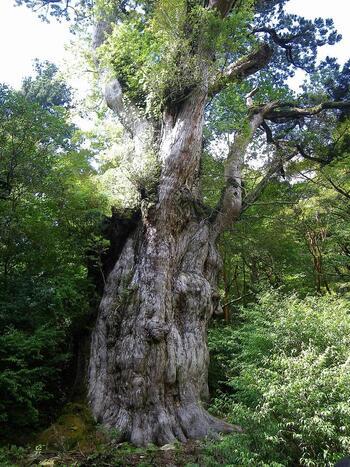 屋久島で有名なのが縄文杉。樹齢7200年とも言われている、屋久島で最大の屋久杉です。樹高は約30m、幹周は約16.4mもあり、まさに圧巻です。