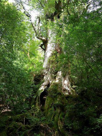 縄文杉までにも、大きな屋久杉はいくつも見られます。こちらは推定樹齢3000年の「大王杉」。縄文杉が発見されるまでは、屋久杉として最大でした。