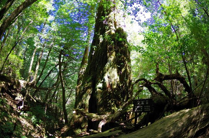 150分のコースで見られる、樹齢1500年の「天柱杉」。樹高は約33mで屋久杉としては最も高く、まさに天の柱の名にふさわしい立ち姿です。