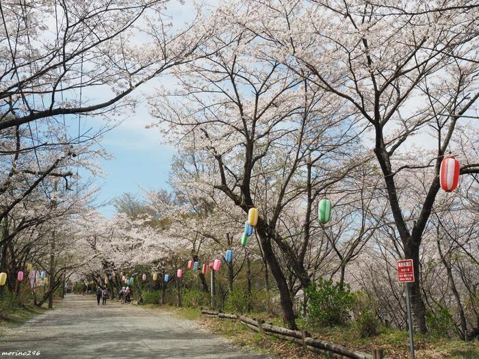 権現山から弘法山へと続く尾根道「馬場道」は、山中とは思えない程の広やか。陽の光も入り、伸び伸びと明るく歩きやすい道です。桜の頃は特に素晴らしく花見のハイカーで賑わいます。 【4月初旬の馬場道。「弘法山公園」の桜の開花時期は、例年3月下旬~4月上旬頃。】