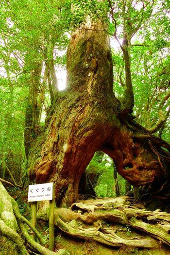 「もののけの森」以外に、屋久杉を鑑賞することもできます。例えば「くぐり杉」のように根元が二又に分かれていて、下をくぐり抜けられるようになった面白い屋久杉もありますよ。
