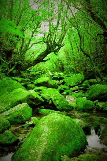トレッキングの時間は約5時間ほどなので、縄文杉へ行くまでのコースよりも気軽に臨むことができます。また、たくさんの沢を流れる湧き水はいずれも飲むことができ、トレッキングでの喉の渇きを癒してくれますよ。