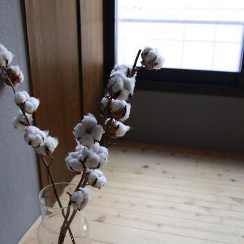 生活に欠かせない綿のもととなる花で、丸くふわふわした見た目が可愛いです♪黄色い花を咲かせた後に、白い綿が生まれるという仕組みが面白いですよね。枝付きの綿花は花瓶に入れて飾りやすく、冬のインテリアにぴったり。