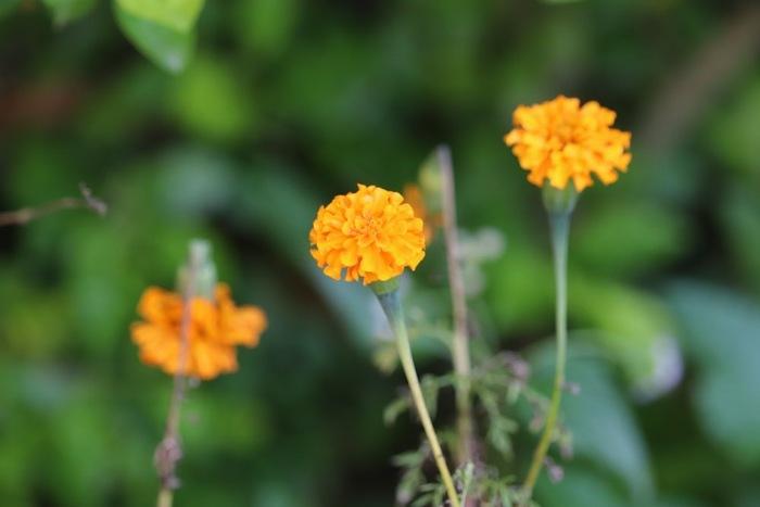 マリーゴールドも5月〜11月頃と長く咲いている花で、鮮やかなオレンジ色をはじめ黄色、クリーム色などがあります。ドライにするならオレンジや黄色といった濃い色がおすすめ。お部屋に明るさをプラスしてくれます。