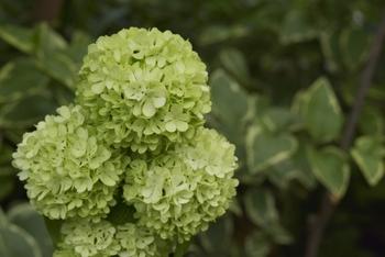 小さくて繊細な花をたくさん咲かせるアナベルは、ドライフラワー初心者にもおすすめです。花の色が白からグリーンに変化するのが特徴で、秋のグリーンアナベルをドライにするとgood!おうちにあるアナベルでも手軽に作れますよ。