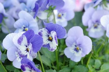 ビオラは10月〜5月頃まで咲く花で、冬の間も花壇を彩ってくれます。配色が美しく、色の種類が豊富なのも魅力。小さなビオラのドライは、ボトルに詰めると綺麗に保てます。
