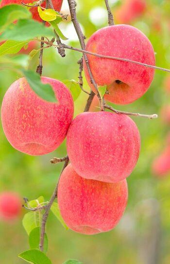 これからが旬のりんごを使って、ちょっと贅沢なスイーツを手作りしよう!