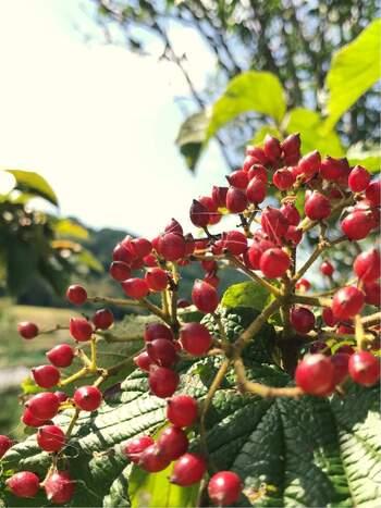 透明感のある真っ赤な実をつけるガマズミは、日本中で秋に見ることのできる落葉低木。あたたかみがありながらも、視線を引き付ける存在感を放ちます。