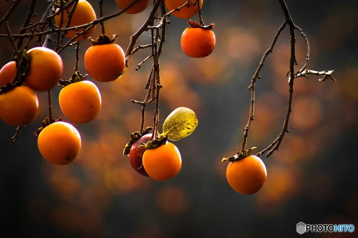 干し柿には渋柿が使われます。なぜ渋柿が使われるのかというと、実は渋柿はそのままでいただける甘柿よりも、糖度自体ははるかに高いからです。なので甘柿を干してもそれほど甘くならず、渋柿から作るほうがおいしく甘い干し柿ができます。