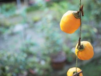 干し柿に水がつくと、カビの原因になります。なので、吊るしている途中で雨の日があったら、室内に入れるようにします。