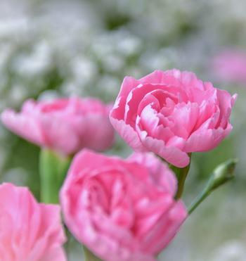 カーネーションは母の日に贈る花の代表格。定番の赤いカーネーションには「母への愛」という花言葉がありますが、ピンクには「温かい心」「感謝」「女性の愛」などの花言葉があります。