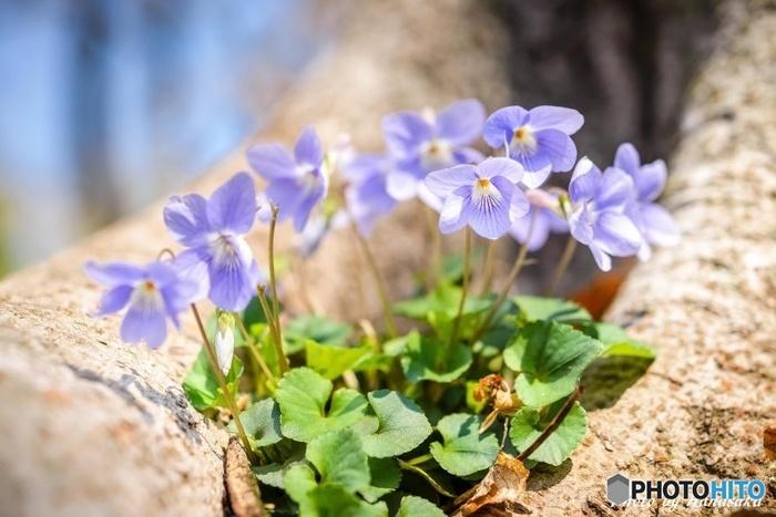 道端に咲く美しいスミレの花言葉は「小さな幸せ」「小さな愛」「誠実」。色別では紫が「貞節」「誠実」、白が「誠実」「謙遜」「あどけない恋」「無邪気な恋」、黄色が「牧歌的な喜び」「慎ましい喜び」と、凛としたその姿にぴったりの花言葉ばかりです。