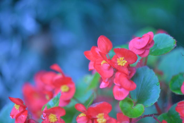 春から夏にかけてよく見かけるベゴニアは、多彩な形とカラフルな色がガーデニング愛好者にも人気のあるお花です。葉がハートのかたちに見えるので、「幸福な日々」「片思い」「愛の告白」などの愛の言葉が生まれました。鉢植えで贈るのがおすすめですが、難しい場合はベゴニアをモチーフにした小物をチョイスするのもいいですね。