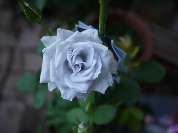 長年の品種改良や遺伝子組み換えにより、とうとう現実のものとなった青いバラ。不可能を可能にしたという理由から、「夢かなう」という花言葉が付けられました。本物はかなり希少ですが、ギフトには青く染めたバラもありますよ。