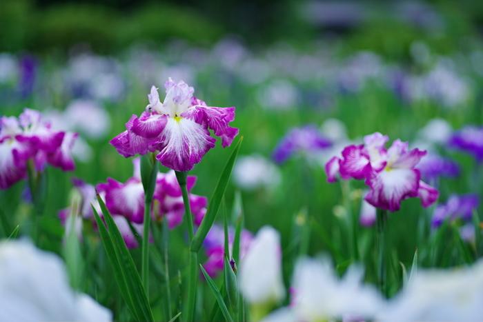 アイリス(和名・ハナショウブ)は、ギリシャ神話で虹の女神に姿を変えて神々の使者になったイリスの名に由来します。花言葉の「うれしい知らせ」は虹を渡って届けられる便りにちなむもので、アヤメ科の多くの花に共通する言葉。その他に「あなたを信じます」「優しい心」「優雅」といった花言葉も持っています。
