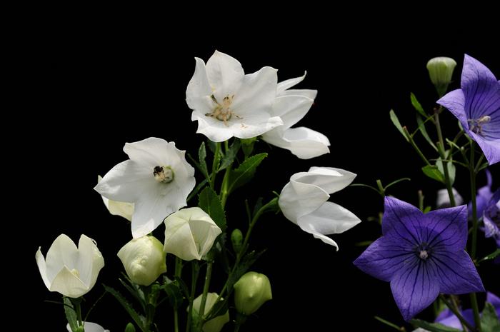 古くから日本で愛されてきた桔梗は、万葉集にも登場し、秋の七草としても数えられる有名な花です。桔梗全般の花言葉は、「永遠の愛」「気品」の二つ。また、白い桔梗の花言葉には「清楚」という意味もあります。ブライダルブーケにも使われる理由がよ分かりますね。