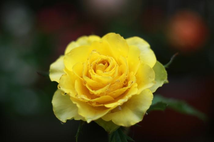 バラ全般の花言葉は「愛」「美」と非の打ち所のないものですが、色別で注意したいのは黄色の「嫉妬」「不貞」。大切な人に贈るのはちょっと避けたい意味合いですよね。ちなみに、白は「尊敬」「私はあなたにふさわしい」、薄オレンジは「無邪気」「さわやか」とギフトにぴったりの花言葉です。