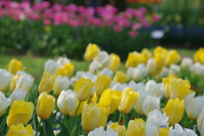 春のフラワーギフトにぴったりのチューリップですが、実は黄色には「実らぬ恋」、白には「失恋」「長く待ちました」というネガティブな花言葉があるんです。好きな人に贈る際には十分気をつけて下さいね。