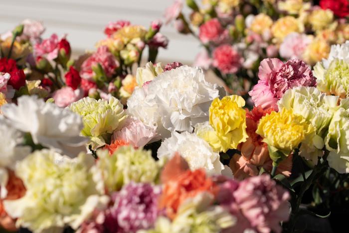 母の日の定番のカーネーションは色も豊富。カーネーション全般の花言葉は「無垢の愛」ですが、黄色は「軽蔑」、白は「愛の拒絶」「私の愛情は生きている」、濃い赤は「私の心に哀しみを」と、ネガティブな花言葉も持っています。一方、青いカーネーションのムーンダストは「永遠の幸福」という花言葉なのでプレゼントにぴったりです。
