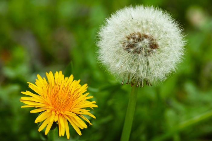 ヨーロッパでは古くから、タンポポの綿毛を吹き飛ばして恋が実るか試す花占いが行われてきました。そこから「愛の信託」という花言葉が生まれたと言われます。一方で、綿毛が一斉に飛んでいく様子から「別離」という花言葉も。タンポポをプレゼントとして贈る時は、シチュエーションに注意する必要がありますね。