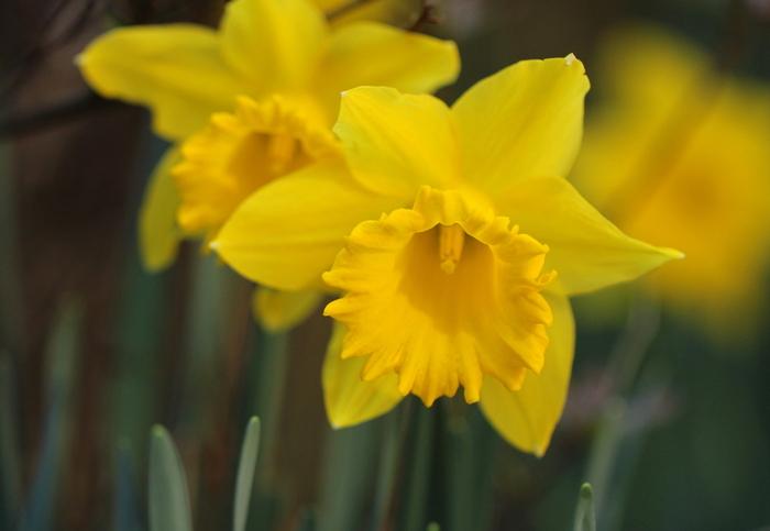 「うぬぼれ」「自己愛」「エゴイズム」という花言葉をもつ水仙。ギリシャ神話の美少年ナルキッソスが水に映った自分の姿に恋をして水仙になってしまった物語が元になっています。ただ、色や種類では白が「神秘」「尊重」、黄色が「私のもとへ帰って」「愛に応えて」、ラッパズイセンが「尊敬」「心づかい」となっているので、贈り物には良い花言葉の水仙を選んでみてはいかがでしょう。