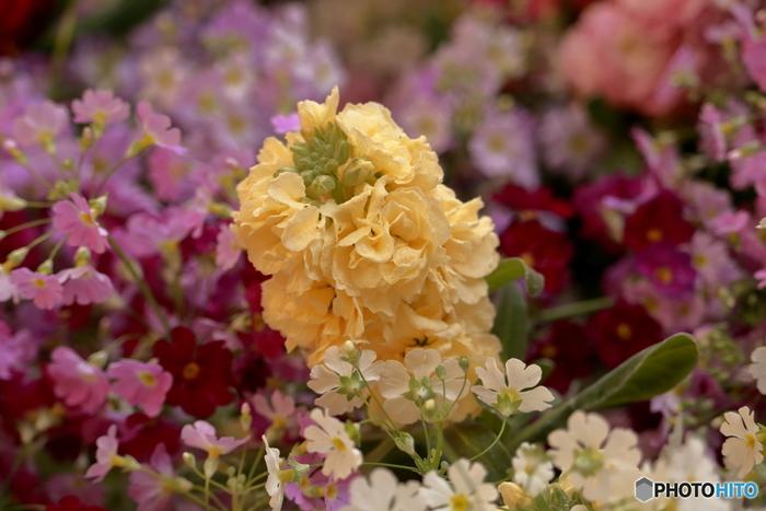 春の花壇を華やかに彩るストック。花言葉にも「愛の絆」「豊かな愛」「愛の結合」「永遠の恋」など情熱的な言葉が並びます。色別でも赤は「私を信じて」、白は「思いやり」「ひそやかな愛」「愛の結合」、ピンクは「ふくよかな愛」、紫は「おおらかな愛情」とほとんどが素敵な花言葉なのですが、黄色だけは「さびしい愛」「寂しい恋」とネガティブなイメージ。好きな人に贈る際には避けたい花言葉ですね。