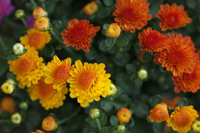 天皇家の家紋にもなっている菊は、花言葉も「高貴」「高尚」「高潔」と尊い意味合い。ただ、白の輪菊と小菊はお供えにもよく使われるため、縁起が悪く見えることもあります。また、赤は「愛情」、白は「誠実」「真実」、濃色は「私を信頼して下さい」、スプレーギクは「私はあなたを愛する」ですが、黄色は「やぶれた恋」「わずかな愛」と失恋を思わせる花言葉です。