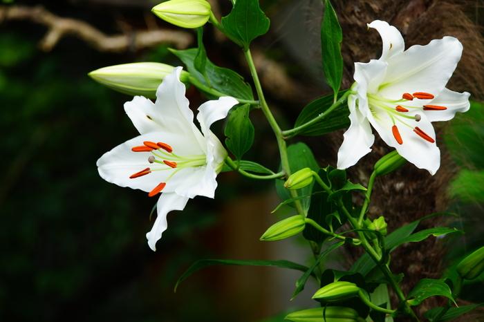 ユリの中でも特に大ぶりで華やかな印象のあるカサブランカ。花言葉は「純粋」「無垢」「祝福」「高貴」「威厳」などで、心から相手を祝福する時にぴったりの花です。ちなみにピンクのカサブランカは「富と繁栄」という花言葉なので、こちらもギフトにおすすめですよ。