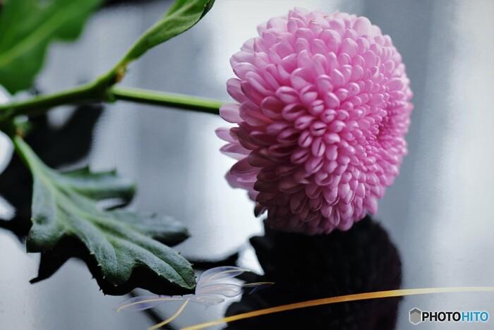 丸い形がかわいらしいピンポンマムは、小さな花びらが緻密に集まって咲く菊の花です。「高貴」「君を愛す」「私を信じて」「真実」など気高さをイメージする花言葉が多く、ギフトからブーケまで幅広いアレンジによく合います。