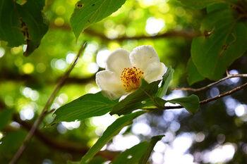 また、平清盛の娘・建礼門院徳子が平家滅亡後に余生を過ごし、平家物語のラストに登場する寺院でもあります。 6月中旬~下旬頃には、平家物語の冒頭に出てくる「沙羅双樹(さらそうじゅ)の花」も見頃を迎えますよ。
