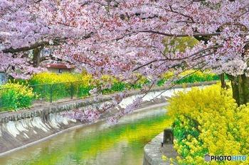 運航ルートのうち、桜が植えられているのは「蹴上」から「山科」間。桜の下には菜の花も咲いているので、ピンクと黄色の華やかな景色を楽しめます。船には乗らず、水路沿いを散策するのもおすすめです。