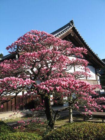 桜の季節は特に人出が多くなる京都。少し時期を早めることで、人混みを避けましょう。JR東福寺駅から徒歩20分ほどの雲龍院では、3月から梅と共に早咲きの桜を同時に楽しむことができますよ。