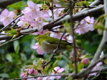 境内に植えられている河津桜は、2月下旬頃から開花し始め、3月上旬頃に見頃を迎えます。ソメイヨシノよりも1ケ月ほど早い見頃で、ソメイヨシノよりも濃いピンクで花自体も大きいのが特徴です。