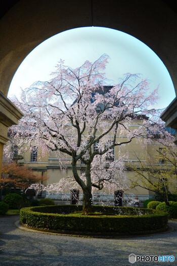 館内に入ることもできるので、桜だけでなくレトロ建築を楽しむこともできます。ルネサンス様式ならではのアーチに納まる桜は格別な趣が感じられますね。