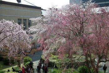 中庭には、枝垂れ桜など6種類・7本の桜が植えられています。様々な種類の桜を一度に見られるのも魅力。