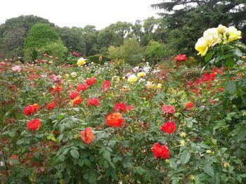 広大なバラ園では10月中旬から11月初旬にかけて秋薔薇も見頃に。約250品種もの薔薇が咲き乱れています。