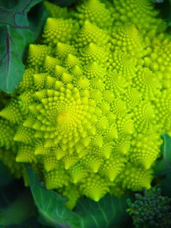 幾何学模様のような花蕾が美しい野菜「ロマネスコ」。「ブロッコリーとカリフラワーをかけあわせた変種」という説もあり、調理法はブロッコリーと同じように使えます。おもてなし料理や、ちょっとおしゃれな盛り付けに挑戦したいときに使ってみては?