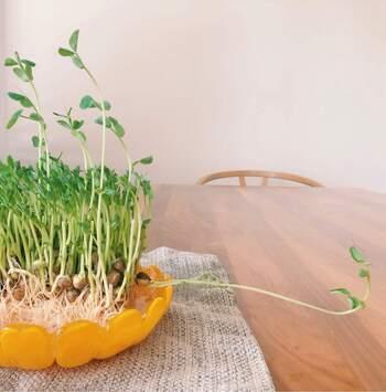 豆苗は定番のリボベジで、初心者さんにもおすすめ。購入してきて一度カットしたら、豆苗の根っこの塊を水につけておくと1週間~10日ほどで再収穫できるようになります。根本にある豆の部分が水に浸かると腐りやすくなるので、水の量に気を付けるのがポイント。