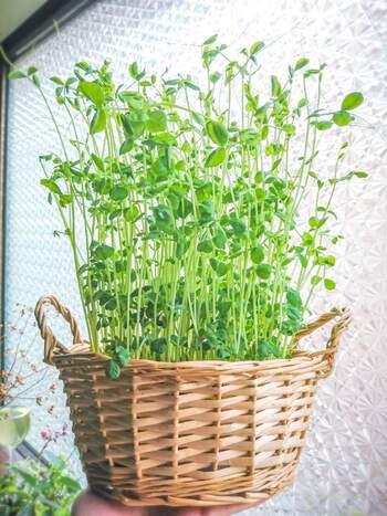 植物の彩りはお部屋に素敵なアクセントをプラスしてくれます。リボベジの活き活きとした葉っぱもインテリアとして楽しんでみてはいかがでしょう。かわいい瓶やおしゃれなバスケットに入れるだけで、野菜も素敵な観葉植物に。