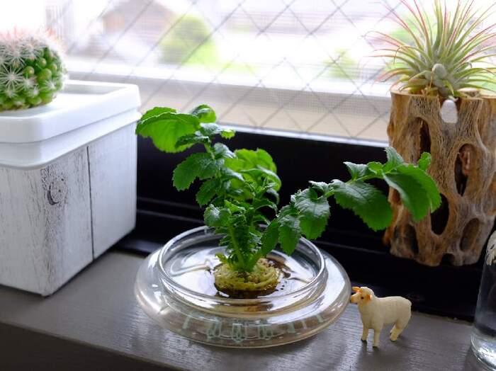 ニンジンと同様に大根のヘタを使ってもリボベジできます。大根の葉は栄養が多いことで知られているので、味噌汁などにちょっとずつ入れて毎日食べたいですね。葉っぱが残っている状態でカットして水に浸けると、その葉がどんどん成長していきます。