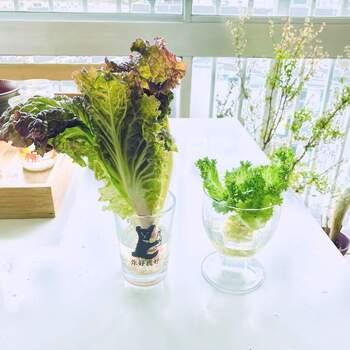 お家で簡単に野菜を収穫できるので、子どもと一緒にリボベジをするのもおすすめ。食育にも役立ちます。種や苗から育てるよりも早い期間で食べられるようになるので、子供も楽しみやすいはずですよ。